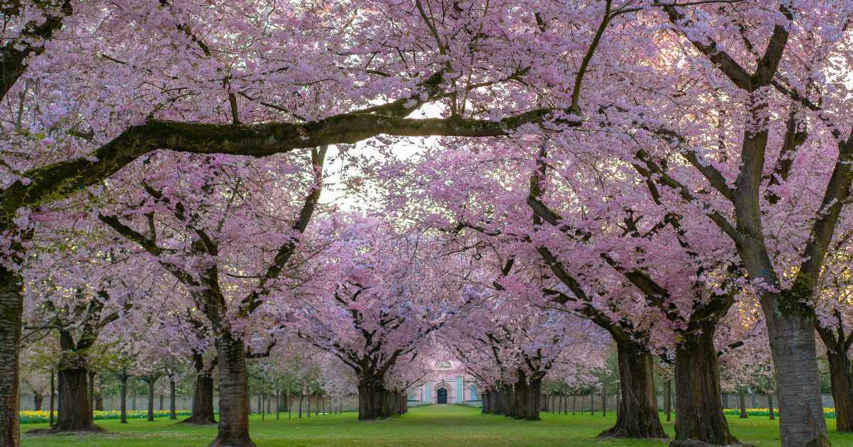 Fleur de cerisier japon