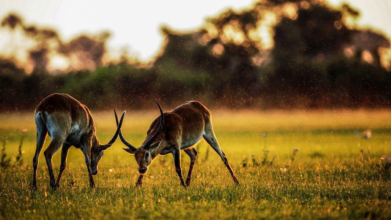 antilopes au parc Serengeti grande migration