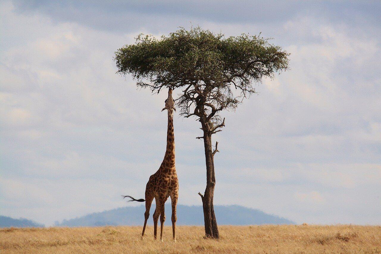 girafe safari Serengeti