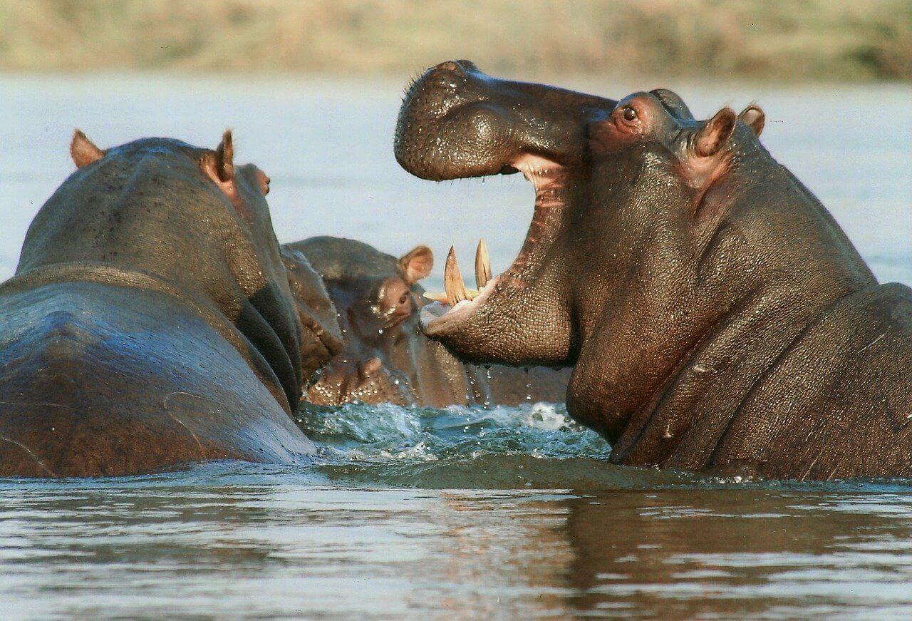 hippopotame safari Serengeti Tanzani