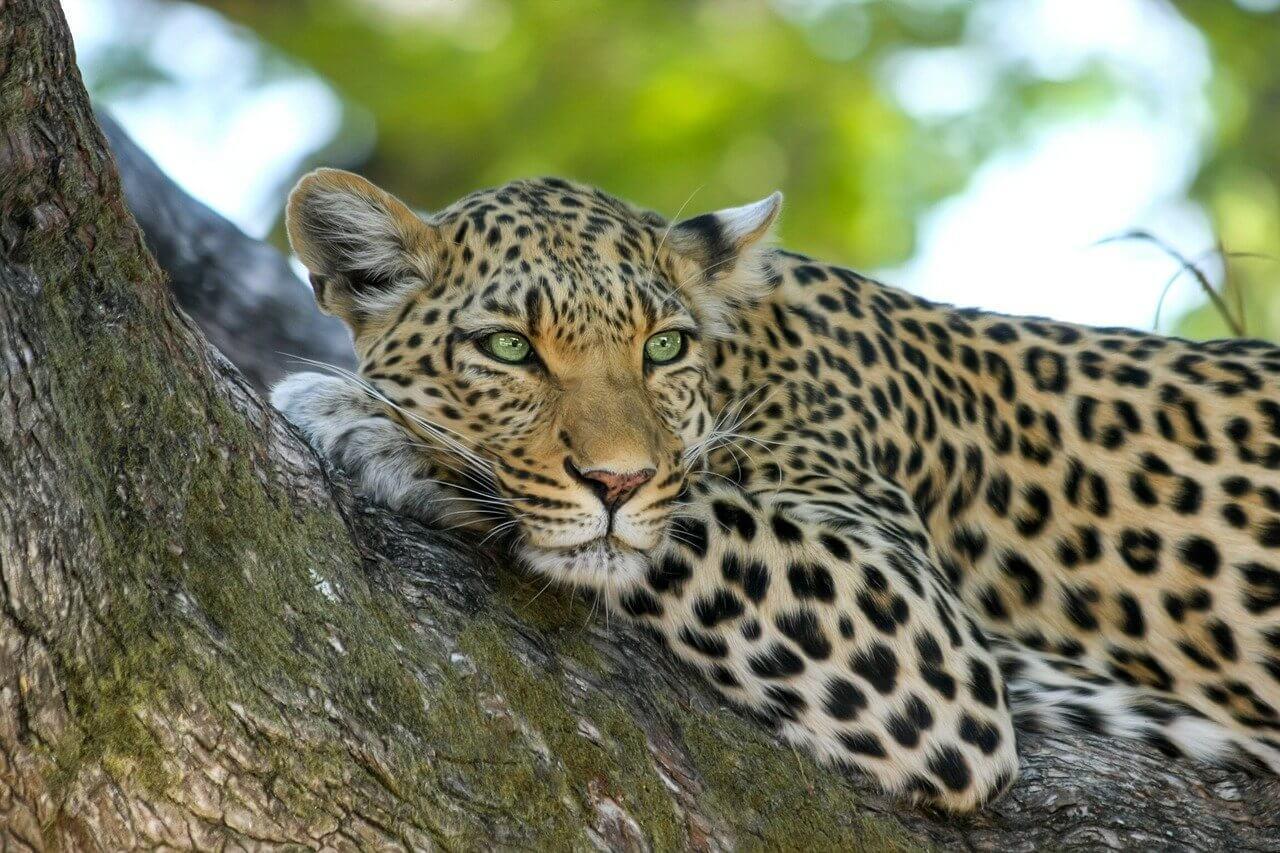 leopard au parc national de Serengeti Afrique
