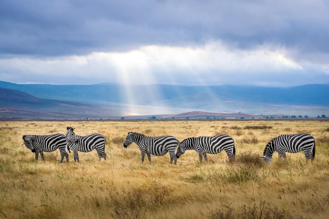 zèbres parc national de Serengeti Tanzanie