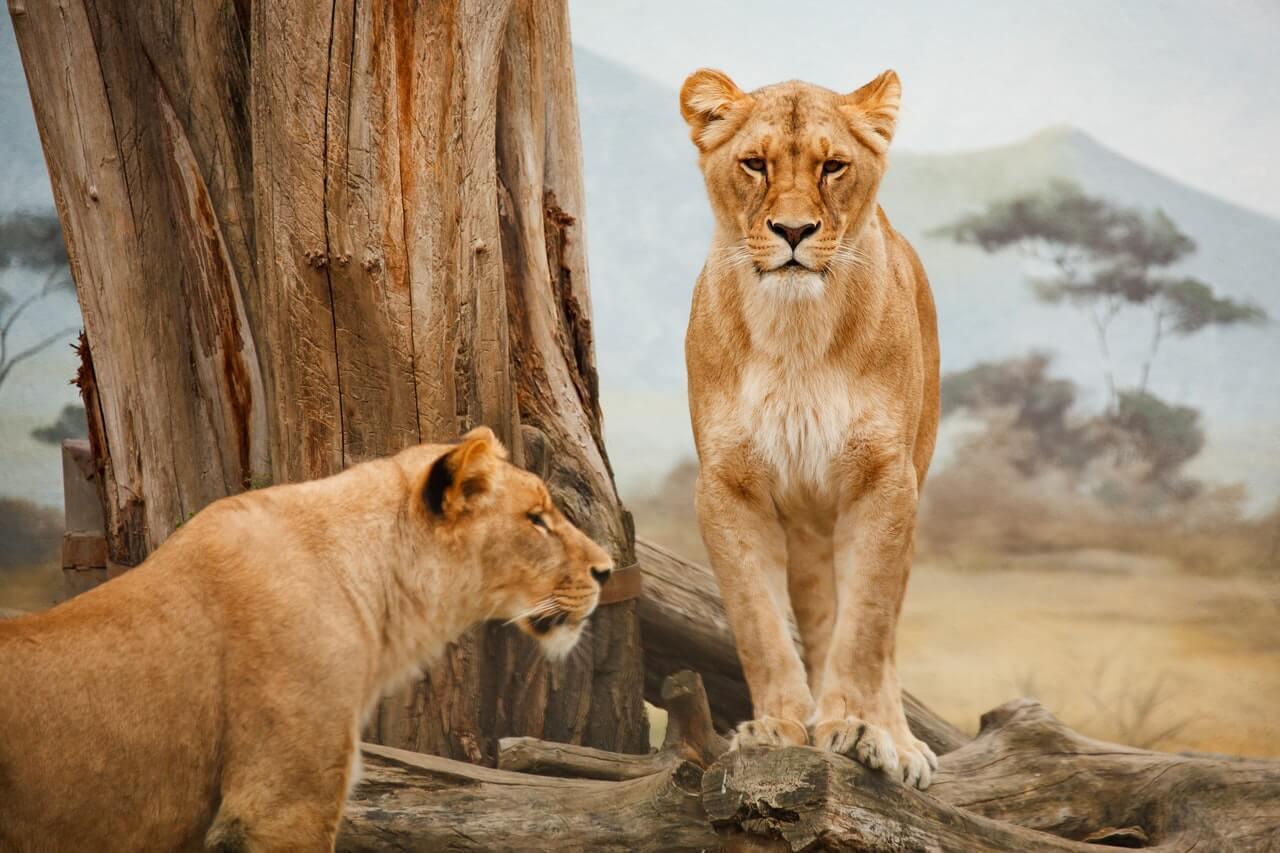 lions safari Serengeti afrique Tanzanie
